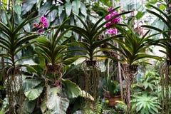 Helle blühende und verwelkende purpurrote Orchideenblume mit schönen Grünblättern und weißen den Wurzeln, die wie Vorhangvorhänge Lizenzfreie Stockfotografie