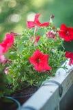 Helle blaue, purpurrote, rosa Petunienblumen in den T?pfen auf dem Balkon stockbild