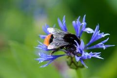 Helle Blume und eine Hummel Stockfotografie
