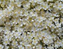 Helle Blumen des Beschaffenheitsmusters der Niederlassungsblüte der Ebereschen-blühenden Pflanze verlässt Schönheit Blumengartenk Lizenzfreie Stockfotos