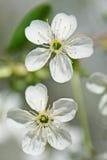 Helle Blumen des Kirschbaums Lizenzfreie Stockfotos