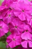 Helle Blumen, Flammenblume stockfoto