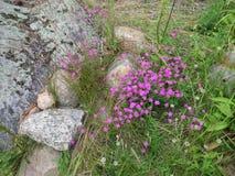 Helle Blumen von wilden Gartennelken Lizenzfreies Stockbild