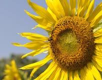 Helle bunte Sonnenblume stockfoto