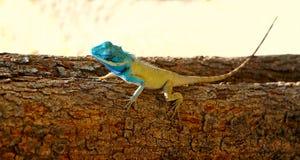 Helle Farbeidechse (Pangolin) auf einem Baum Stockfotos