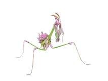 Helle farbige Gottesanbeterin des ungewöhnlichen exotischen Insekts Stockfotografie