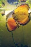Helle Fische im Aquarium zwei Diskus lizenzfreie stockfotografie