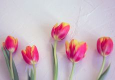 Helle frische Tulpen auf Weiß vergipstem Hintergrund Stockbilder