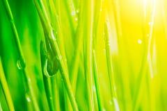 Helle frische vibrierende Nahaufnahme des grünen Grases des Frühlinges mit etwas Regen fällt unter helles warmes Sonnenlicht Stockfotos