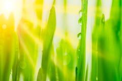 Helle frische vibrierende Nahaufnahme des grünen Grases des Frühlinges mit Sonne strahlt zwischen den Blättern aus Stockfotografie