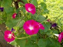Helle Fuchsie farbige Windenblumen Lizenzfreies Stockfoto