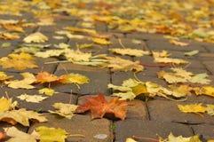 Helle Gelb- und Rotahornblätter auf der Pflasterung naß nach Regen Stockfoto