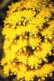 Helle gelbe Aeonium undulatum Blumen Lizenzfreie Stockfotos
