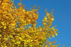 Helle gelbe Blätter eines Ahornbaums stockfoto