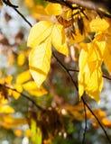 Helle gelbe Blätter von Acer-negundo Lizenzfreies Stockfoto