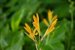 Helle gelbe Blüte auf grünem Hintergrund Stockbild