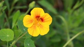 Helle gelbe Blume an der Kirche Stockfotos
