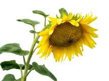 Helle gelbe Blume einer Sonnenblume Stockfotografie