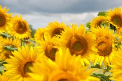 helle gelbe Blume mit Biene in der Mitte stockfotografie