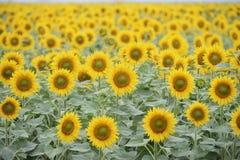 helle gelbe Blume mit Biene in der Mitte Lizenzfreies Stockbild