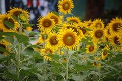 helle gelbe Blume mit Biene in der Mitte lizenzfreies stockfoto