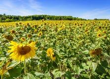 helle gelbe Blume mit Biene in der Mitte Stockfoto
