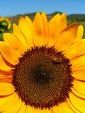 helle gelbe Blume mit Biene in der Mitte Lizenzfreie Stockfotos