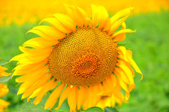 helle gelbe Blume mit Biene in der Mitte Schöne Sonnenblumen, die auf dem Feld blühen wachsen Stockbilder