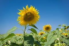helle gelbe Blume mit Biene in der Mitte Universalschablone für Grußkarte, Webseite, Hintergrund Lizenzfreie Stockfotos