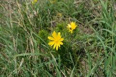 Helle gelbe Blume von Adonis-vernalis im Gras Lizenzfreie Stockfotos