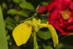 Helle gelbe Blume von Iris auf einem grünen Hintergrund des Grüns Stockfoto
