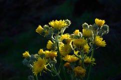 Helle gelbe Blumen, Sonchus acaulis Lizenzfreies Stockfoto