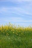 Helle gelbe Blumen unter dem hellblauen Himmel Stockfotos