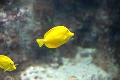 Helle gelbe Fische Stockfotos