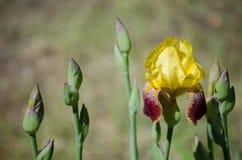 Helle gelbe Iris Lizenzfreie Stockbilder