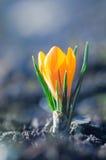 Helle gelbe Krokusblume im sonnigen Frühjahr stockfotografie