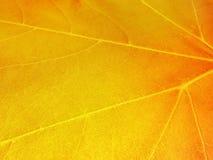 Helle gelbe, orange, rote, goldene Farben der Ahornblätter auf Baumzweig, backlit durch die Sonne Stockbild