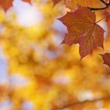 Helle gelbe, orange, rote, goldene Farben der Ahornblätter auf Baumzweig, backlit durch die Sonne Stockfotografie