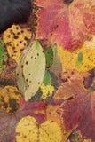 Helle gelbe, orange, rote, goldene Farben der Ahornblätter auf Baumzweig, backlit durch die Sonne Stockfoto
