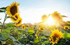 Helle gelbe, orange Sonnenblumenblume auf Sonnenblumenfeld Schöne ländliche Landschaft des Sonnenblumenfelds im sonnigen Sommer Stockfotos