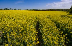 Helle gelbe Rapssamenfeldblüte im Frühjahr stockfotografie