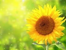 Helle gelbe Sonnenblume auf grünem Hintergrund Lizenzfreies Stockbild
