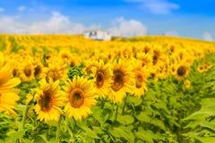 Helle gelbe Sonnenblume gegen den blauen Himmel der Wolke Lizenzfreies Stockfoto