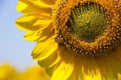Helle gelbe Sonnenblume gegen einen blauen Himmel und eine Biene, die Nektar sammeln Stockfoto