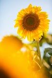 Helle gelbe Sonnenblumen Lizenzfreies Stockbild