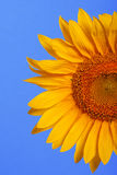Helle gelbe Sonnenblumen auf einem blauen Hintergrund Stockfotografie