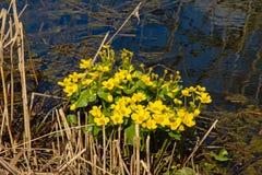 Helle gelbe Sumpfringelblume oder kingcup Blumen und Schilf in einem Abzugsgraben Lizenzfreies Stockfoto