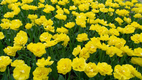 Helle gelbe Tulpen Stockbild