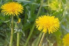 Helle gelbe und orange Löwenzahnblumenanlagen auf grünem Frühlingsfeldhintergrund lizenzfreies stockfoto