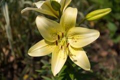 Helle gelbe Zitrone-farbige Blütennahaufnahme der Tigerlilie Lizenzfreie Stockfotos